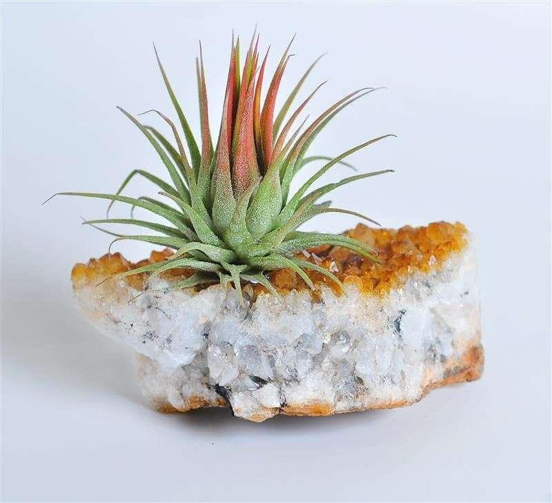אבן השפע צמח אוויר- מתנות לטו בשבט, מתנות לראש השנה